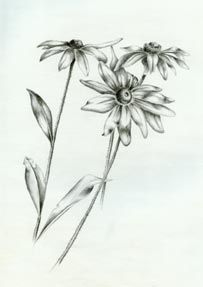 pencil drawings of daisies - Google Search | Drawing ...
