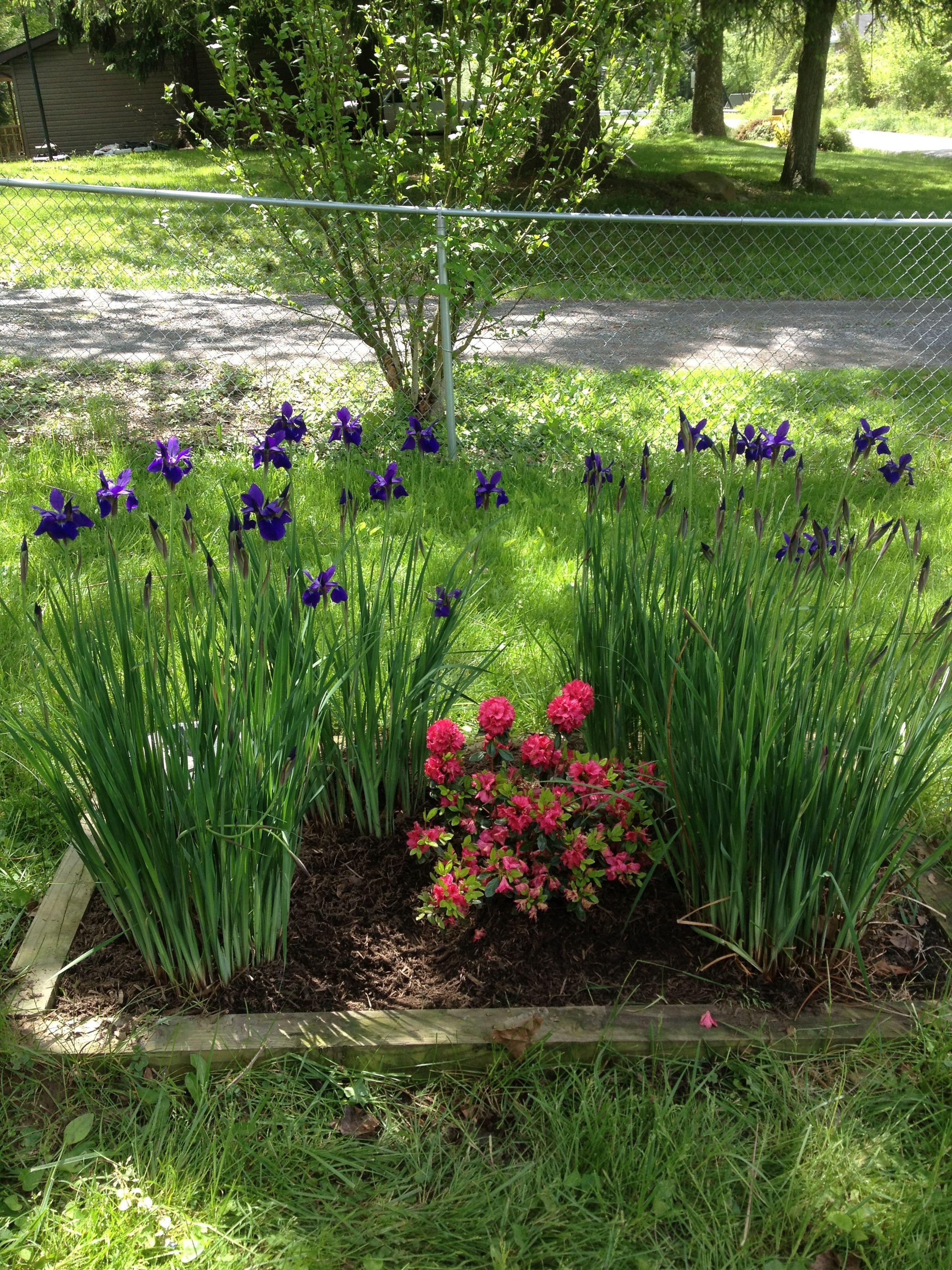 Siberian Iris And Azelea In Bloom May 2012 Plants Garden Plants Plant Design