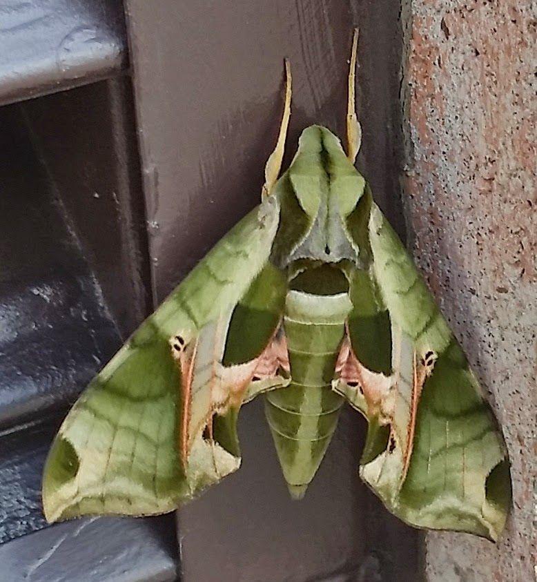 Pandora Sphinx Moth Moth Beautiful Butterflies Weird Creatures