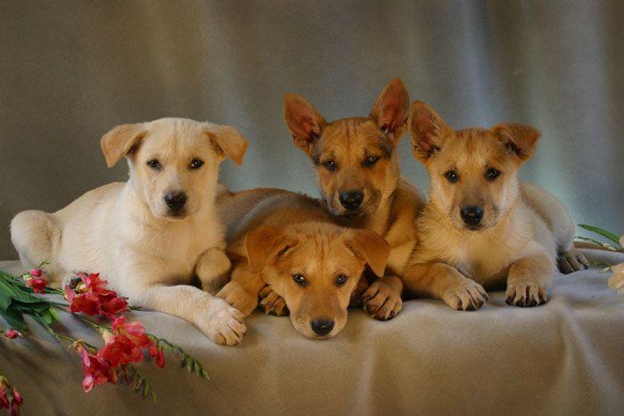 Carolina Dog Puppies Aka The American Dingo The Dixie Dingo The Southern Dingo The Native American Dog The In Carolina Dog Native American Dog Dog Breeder