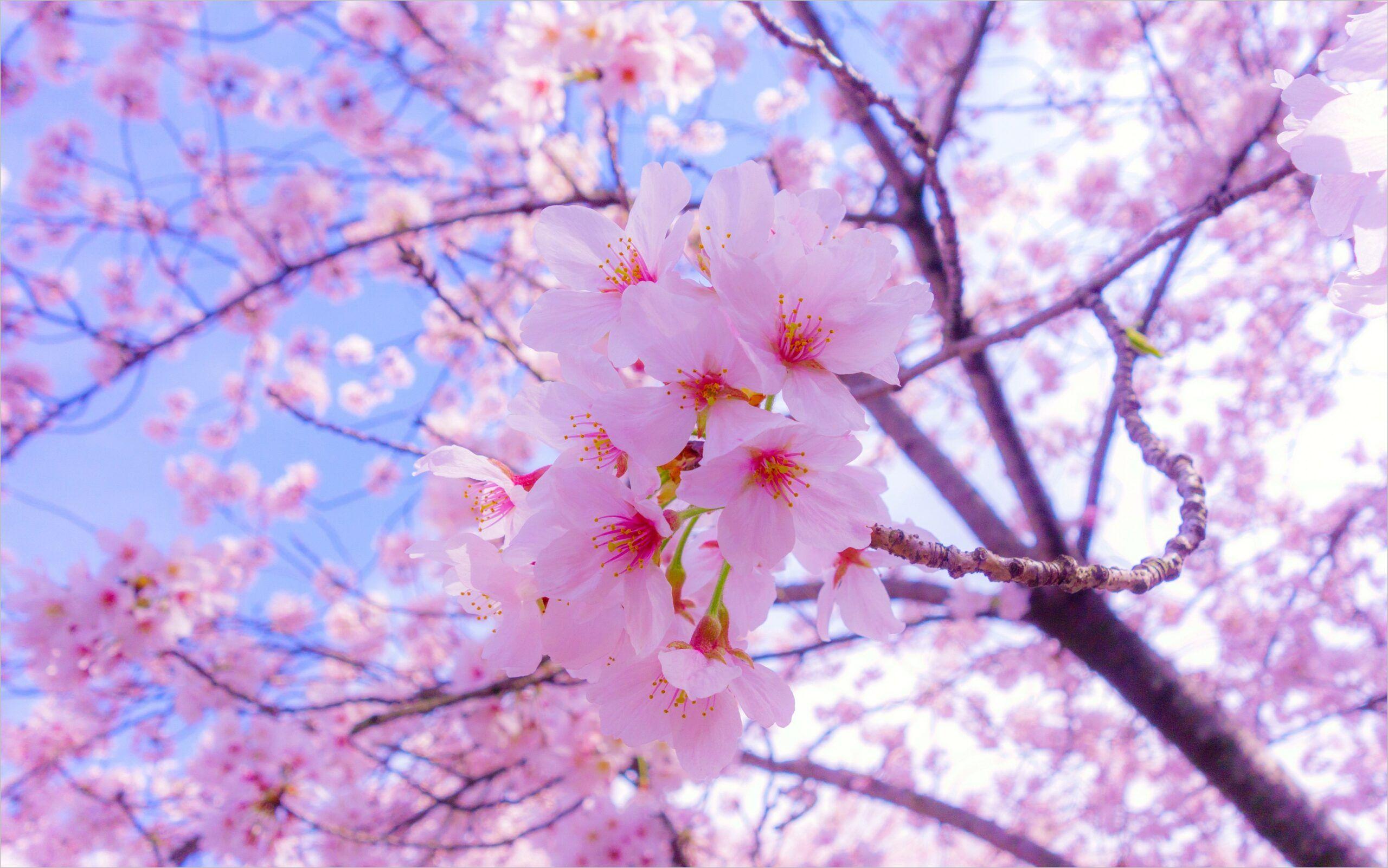 Pink Spring 4k Wallpaper In 2020 Sakura Flower Flower Images Wallpapers Cherry Blossom Wallpaper