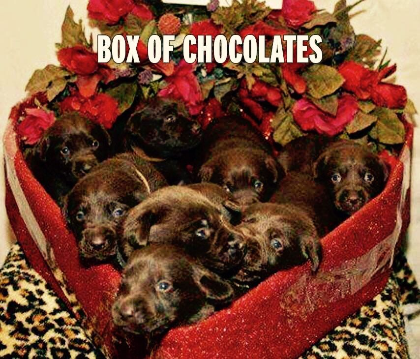 Chocolate Labrador puppies sitting in a heart shape box  Dogs