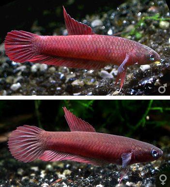 Betta Rutilans Betta Betta Fish Aquarium Fish