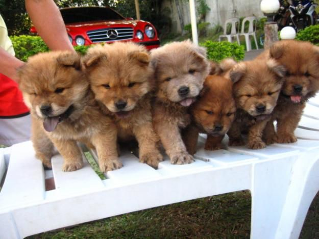 Funny Chow Chow Puppy