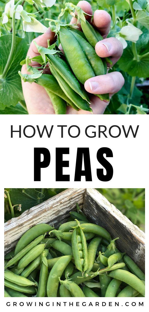 Peas Planting Growing And Harvesting Peas Home 400 x 300