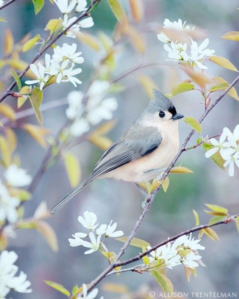 """Woodland Animal Art Print - """"Tufted Titmouse in Spring"""" (NatureMandalas on Etsy) I HAVE THESE IN MY BACKYARD!"""