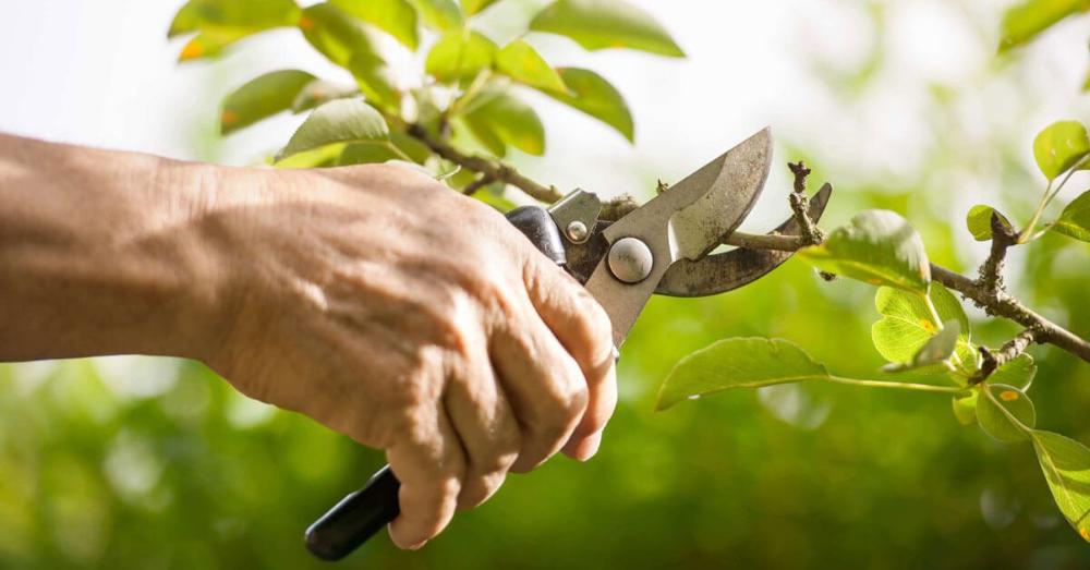 Pruning Fruit Trees Nz Advice Pruning Fruit Trees Tree Pruning Pruning Tools