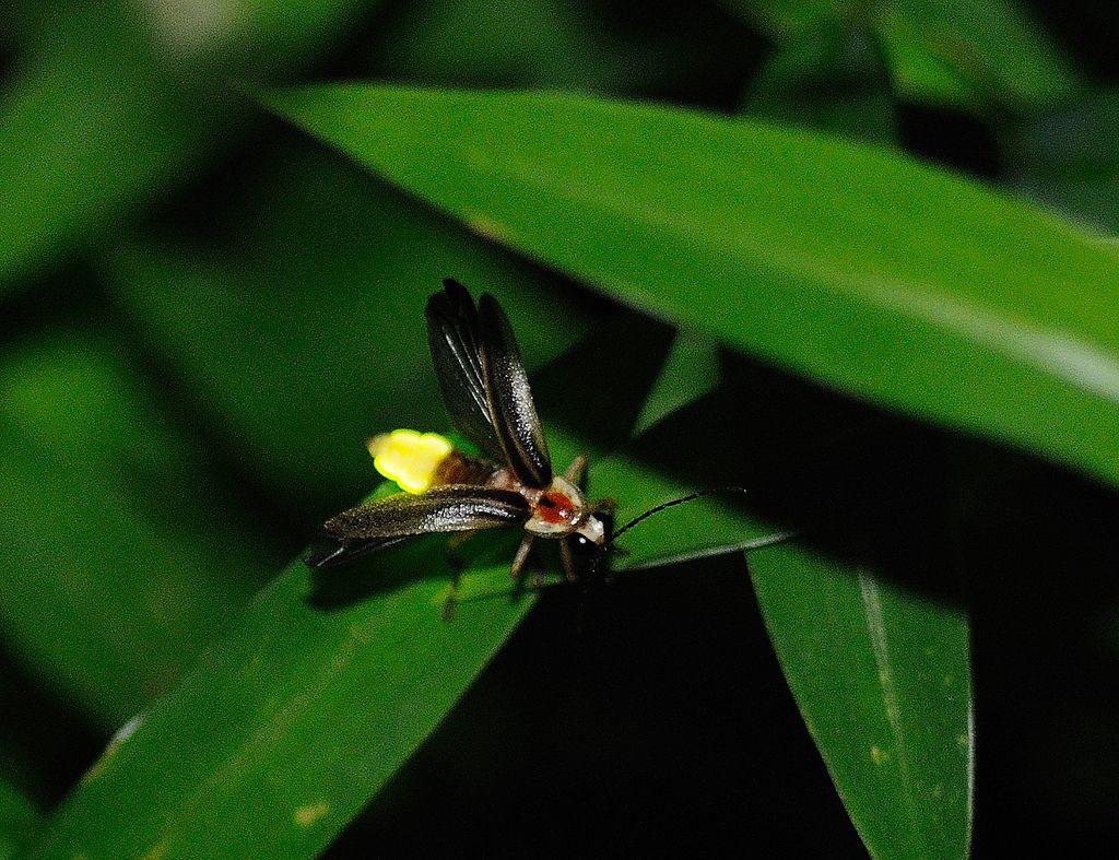 Firefly | Ciencia y Naturaleza