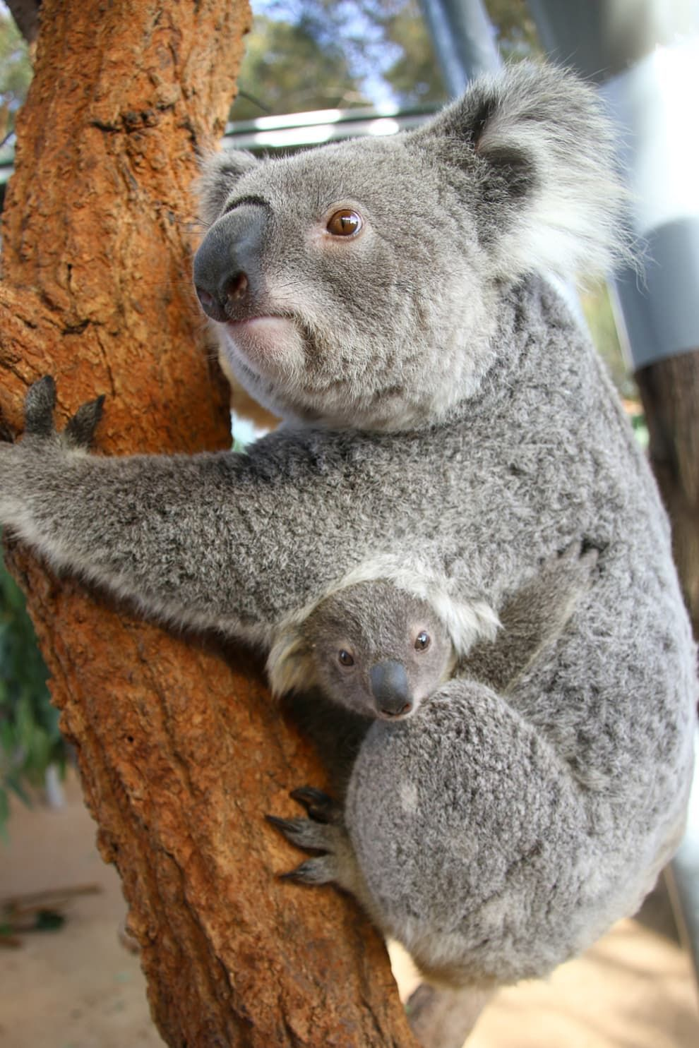 These Baby Koalas Are Newly Out Of The Pouch And Omg They Are Cute Babyanimalpics Baby Koala Koala Koalas