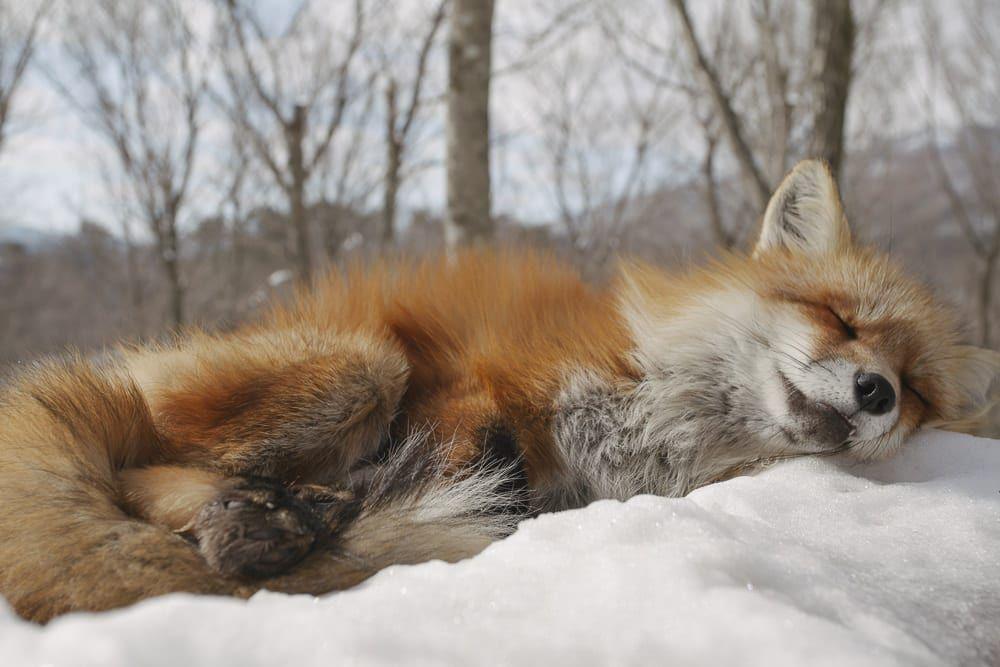 научусь жить фото спящих лисиц было медицинское