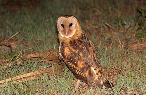 Australian grass owl. . Habitat eastern grasslands . Species threatened by clearing of grasslands . birdlife.com.au