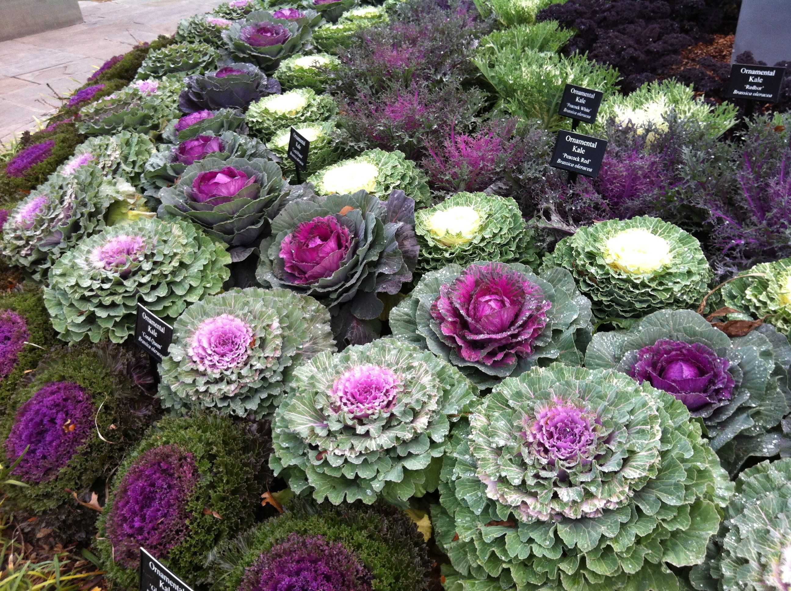 Ornamental Cabbage Dallas Ornamental Cabbage Ornamental Kale Unusual Flowers