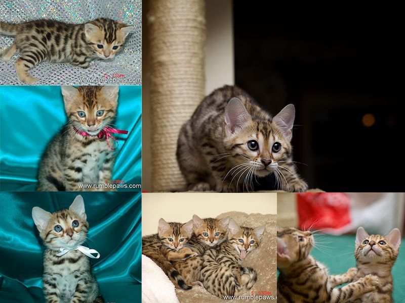 Exquisitely Marked Bengal Kittens Western Ny Not Far From