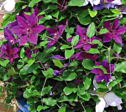 Clematis amethyst beauty white flower farm landscaping and clematis amethyst beauty white flower farm mightylinksfo