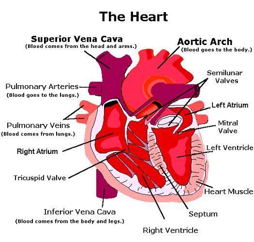 Human Heart Diagram and Functions | Human heart diagram ...