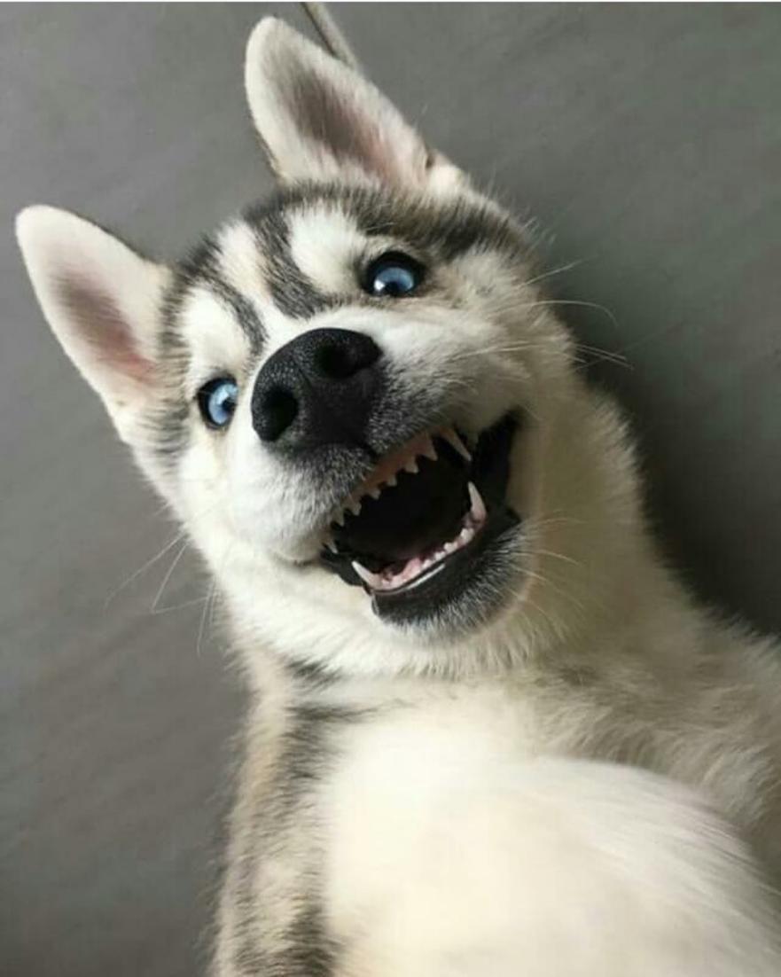 Puppy collar size husky