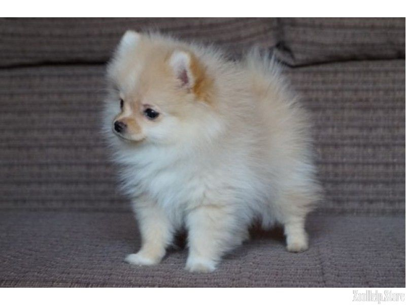 Pomeranian For Sale Near Me Pomeranian For Sale Maryland