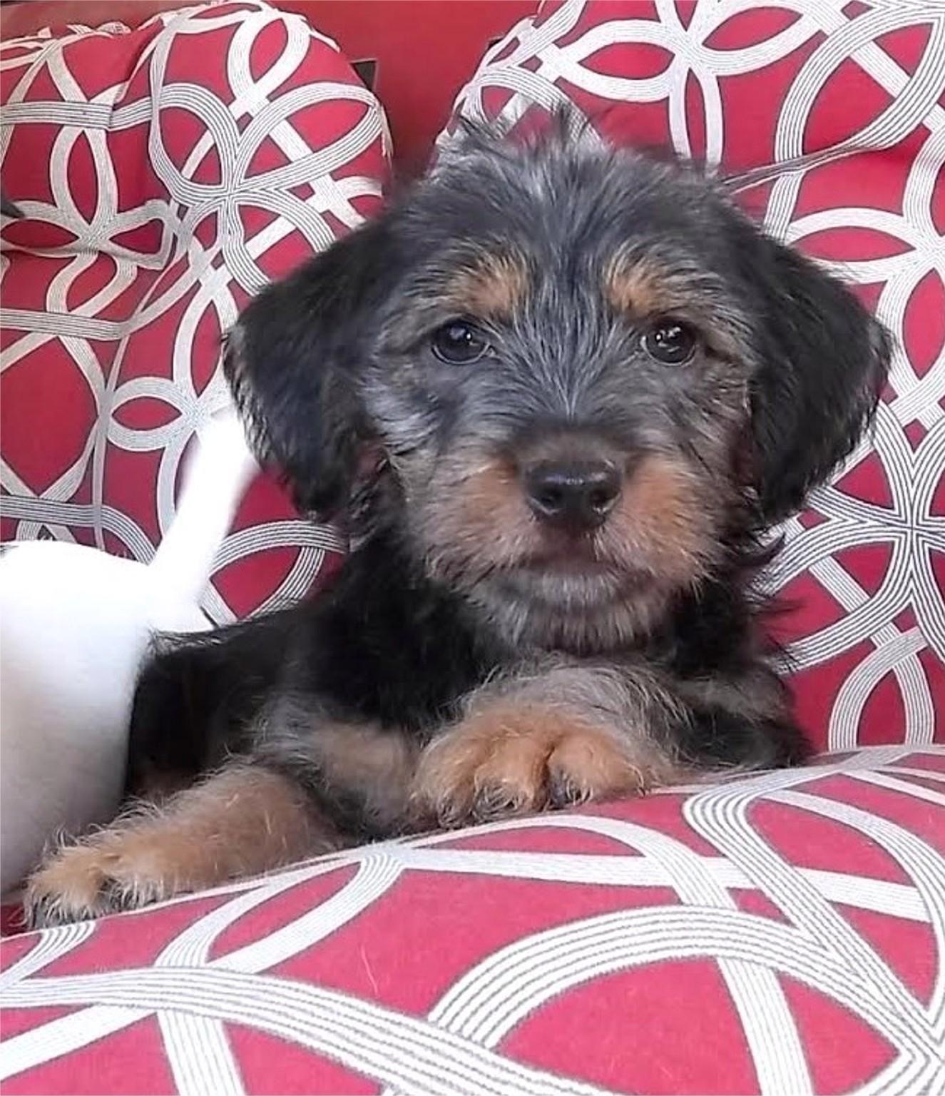 Adopt Newt On Wire Haired Dachshund Dachshund Dog Rescue Dogs