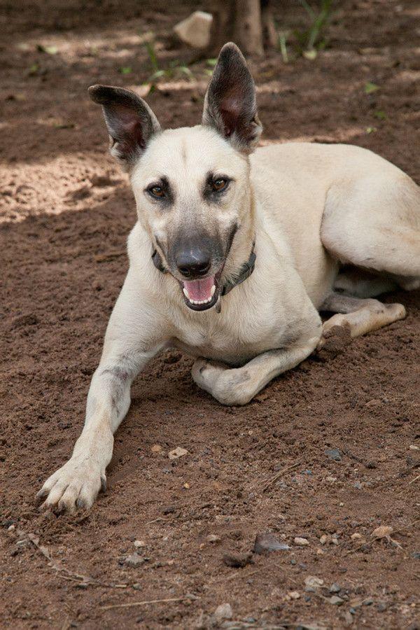 Roo Malinois X Greyhound Malinois Belgian Shepherd Greyhound