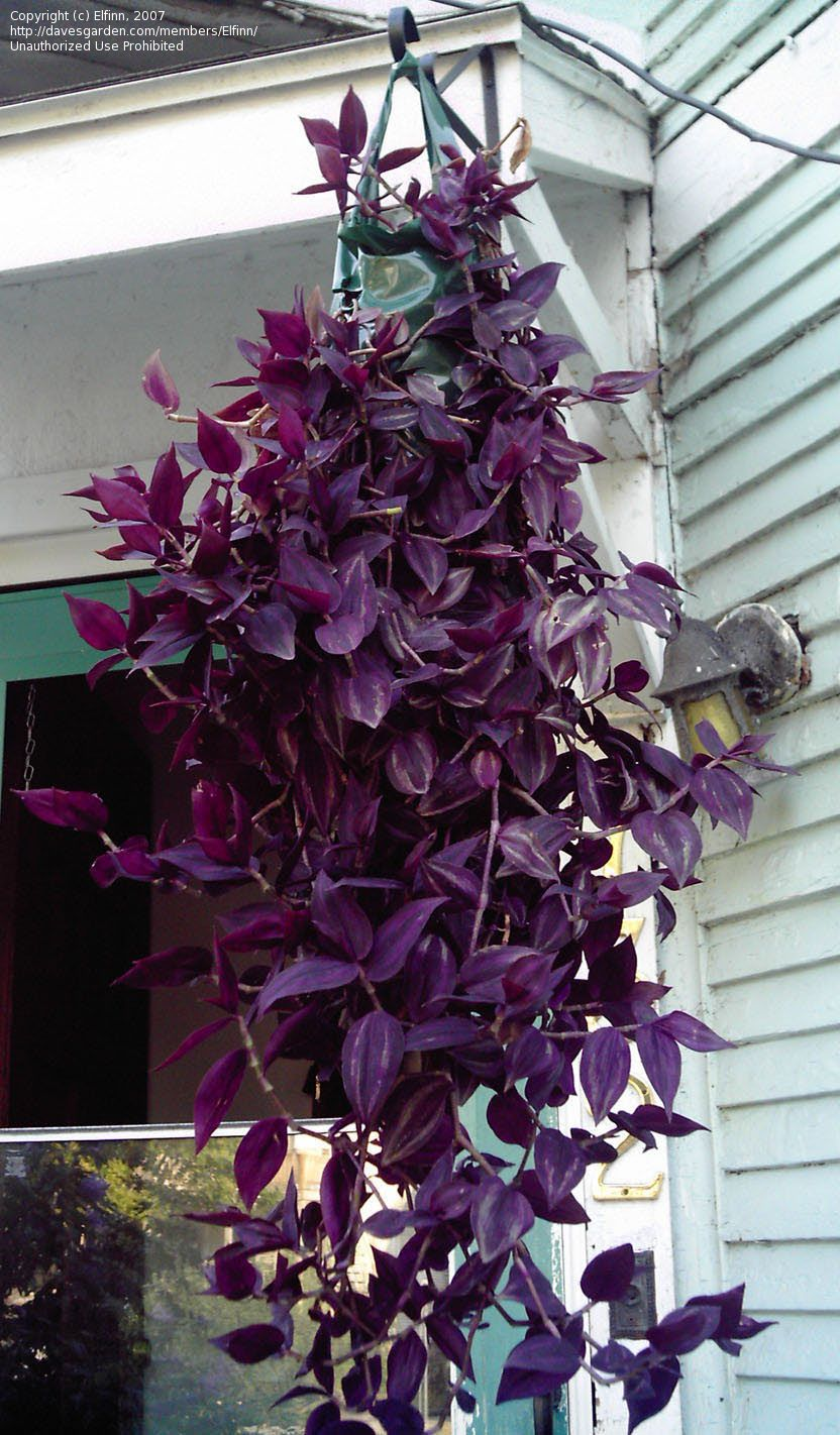 container gardening - Flowering House Plants Purple