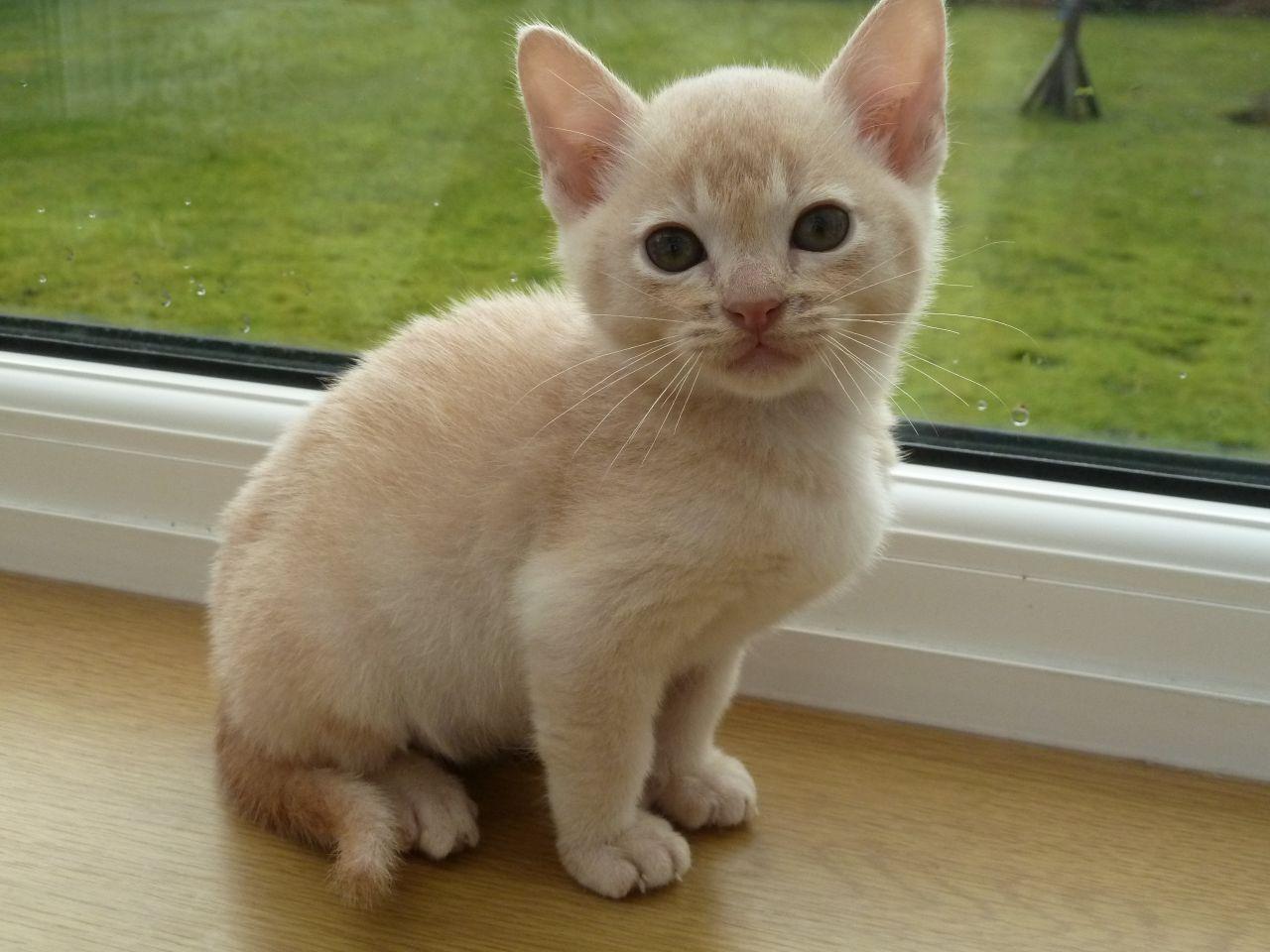 Beautiful Burmese Kitten cat Different Cat Breeds at