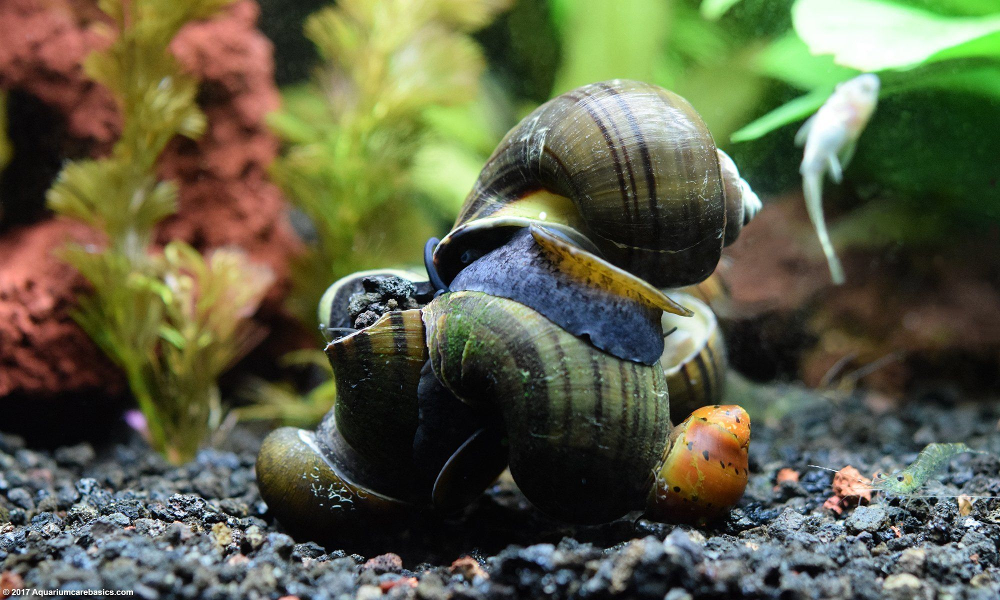 Freshwater Snails Can Be Helpful Tank Cleaners And Algae Eaters Or Annoying Pests That Can Reproduce And Overrun A Tank Quickly Dep Aquarium Snails Snail Fresh Water