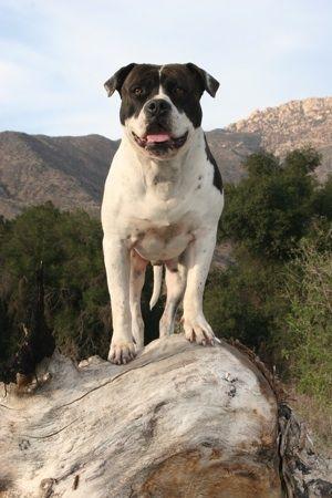 Alapaha Blue Blood Bulldog Photo Alapaha Connection Kennels