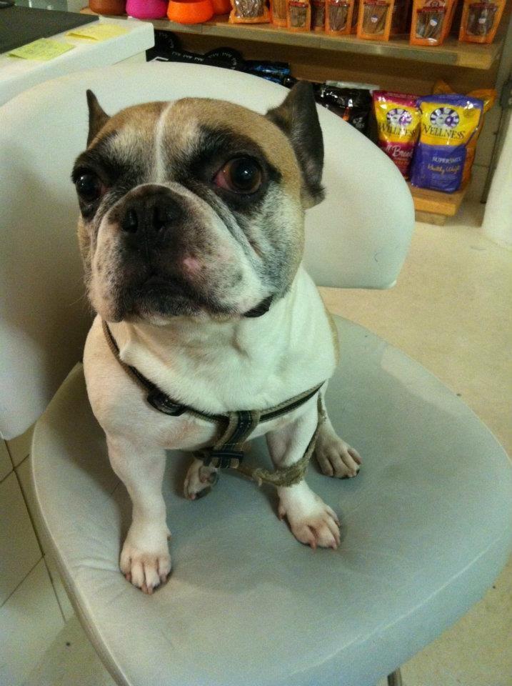 Ferdi The Suspicious French Bulldog French Bulldog Bulldog