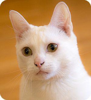 Chicago Il Domestic Shorthair Meet Max A Cat For Adoption Http Www Adoptapet Com Pet 18256943 Chicago Illinois Cat Cat Adoption Kitten Adoption Pets