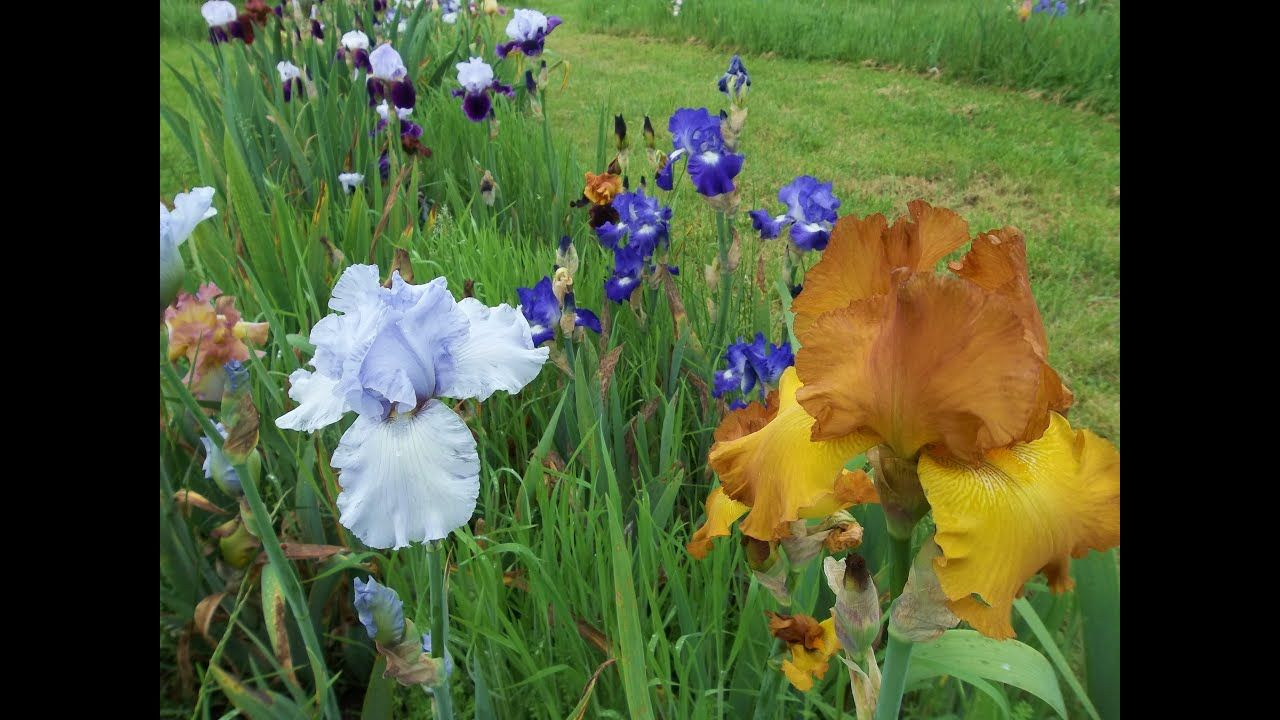 Iris Farming In The Midwest Giant Usa Flower Field Of Lilies And Iris In 2020 Flower Field Beautiful Flowers Iris