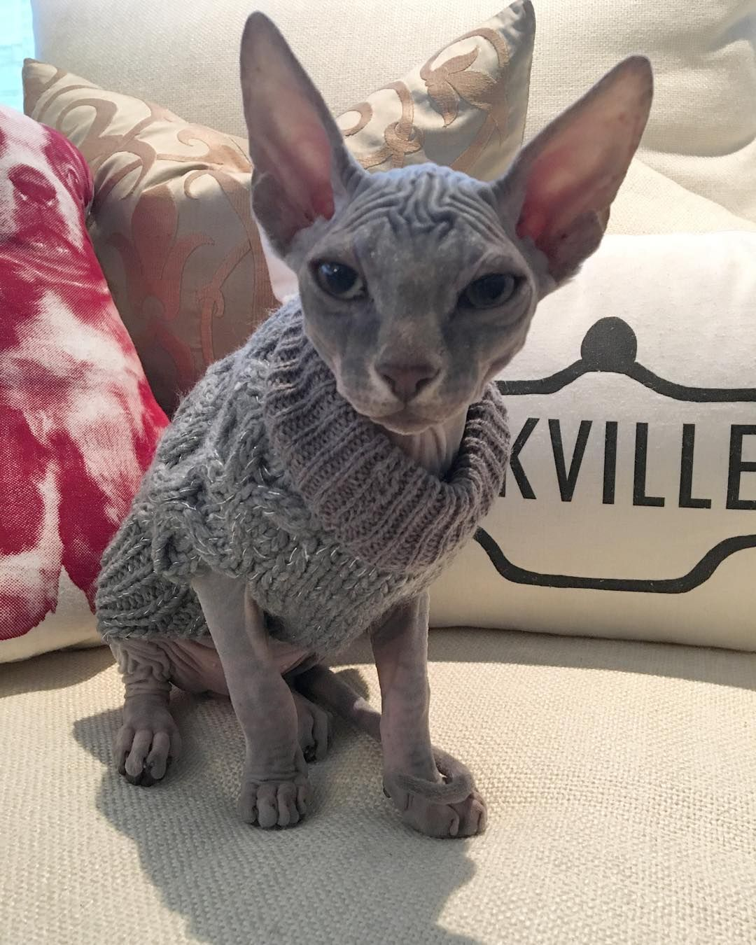 50 shades of Sphynx Sphynx cat, Hairless cat, Rex cat