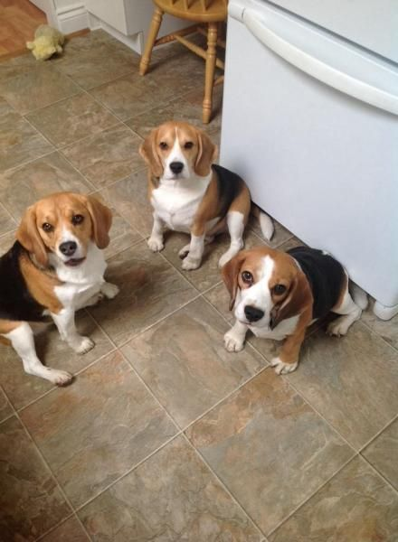 Walter With His Friends Beagle Vancouver Blog Therapy Dogs