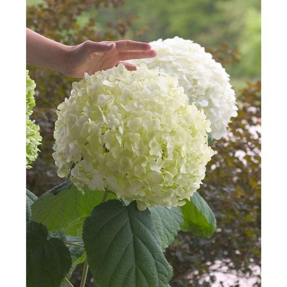 Incrediball Smooth Hydrangea, Live Shrub, Green to White Flowers, 4.5 in. Qt.