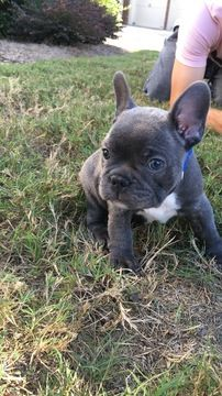 Litter Of 3 French Bulldog Puppies For Sale In Braselton Ga Adn