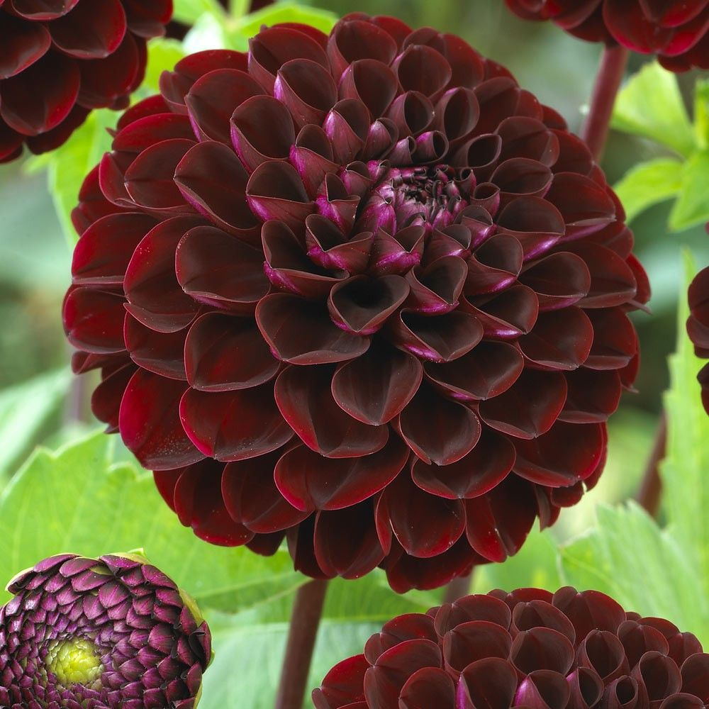 Dahlia Burgundy Black Flower: Dark Spirit, Dahlia