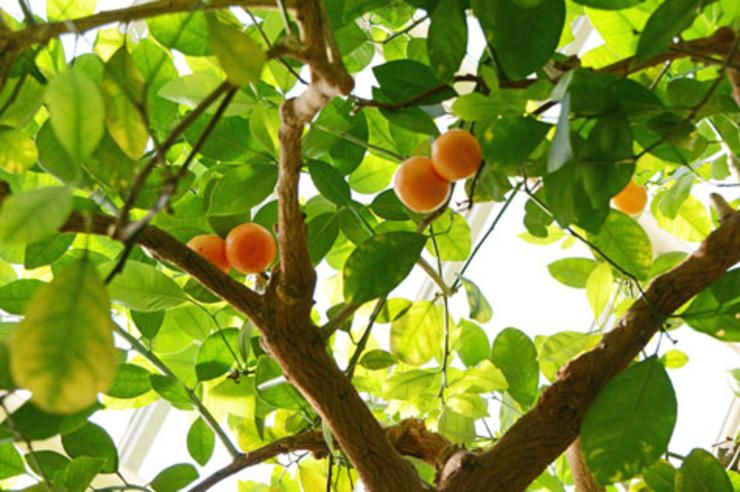 8 Fruit Trees You Can Grow Right On Your Porch Fruit 400 x 300