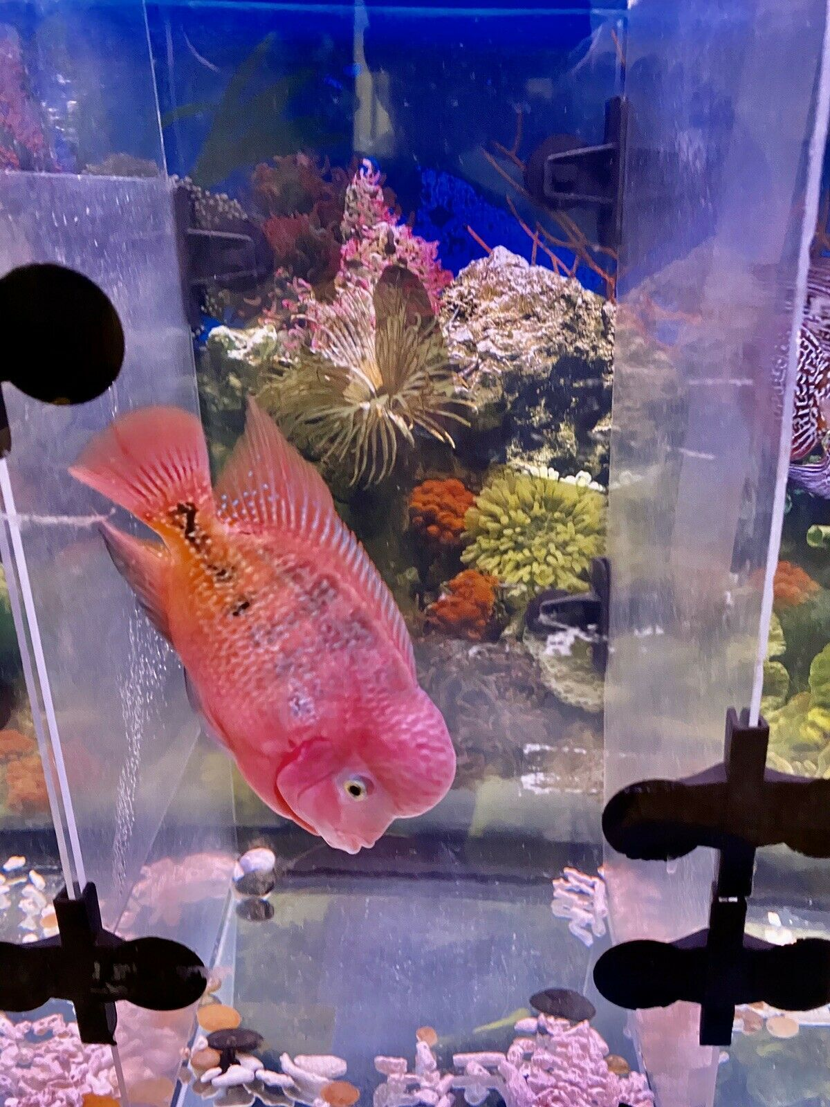 RARE.. SUPER RED SYNS KING KAMFA flowerhorn in 2020 Fish