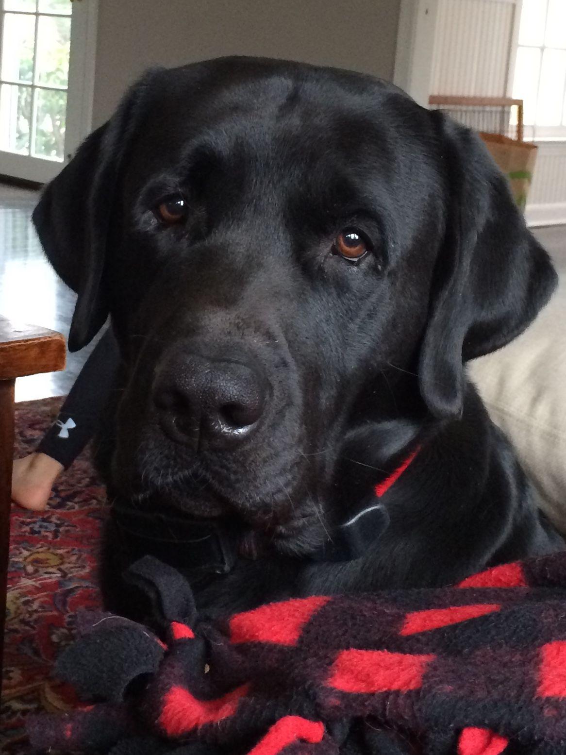 Omg He S The One Handsome Labrador Retriever Labrador Black