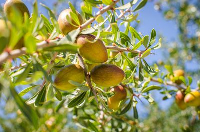 Argania Spinosa Kernel Oil The Argan Tree Is Native To North Africa And More Specifically Morocco Argan Oil Is Produced From The Kernels Of The Argan Tree