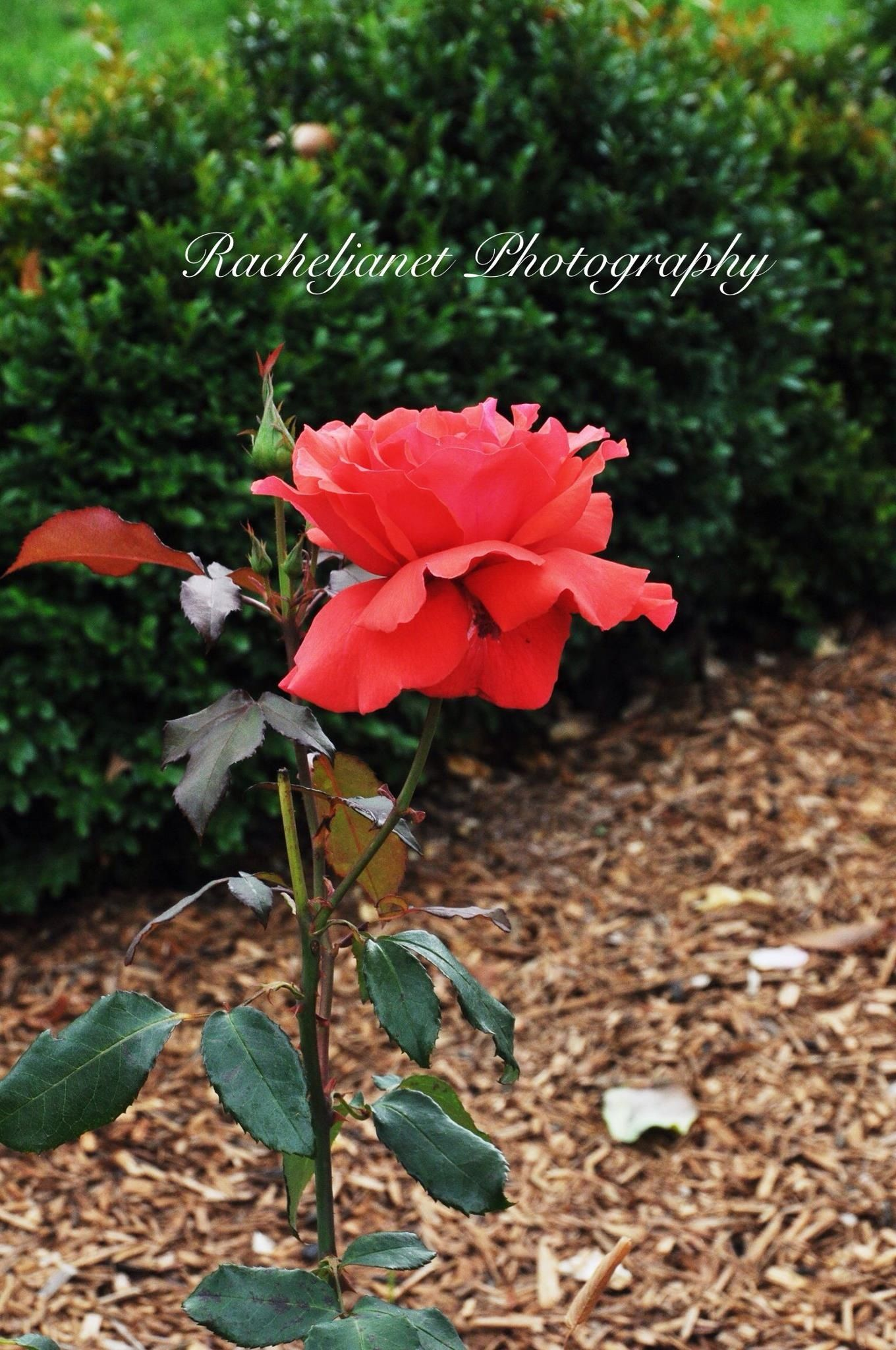 Flower Photography, Nature, red rose,