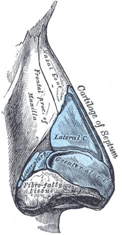 Hueso Nasal Wikipedia La Enciclopedia Libre Anatomia Cara Anatomia Humana Anatomia