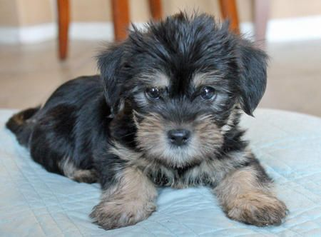 Percy the Yorkie Mix -- Puppy Breed: Lhasa Apso ...