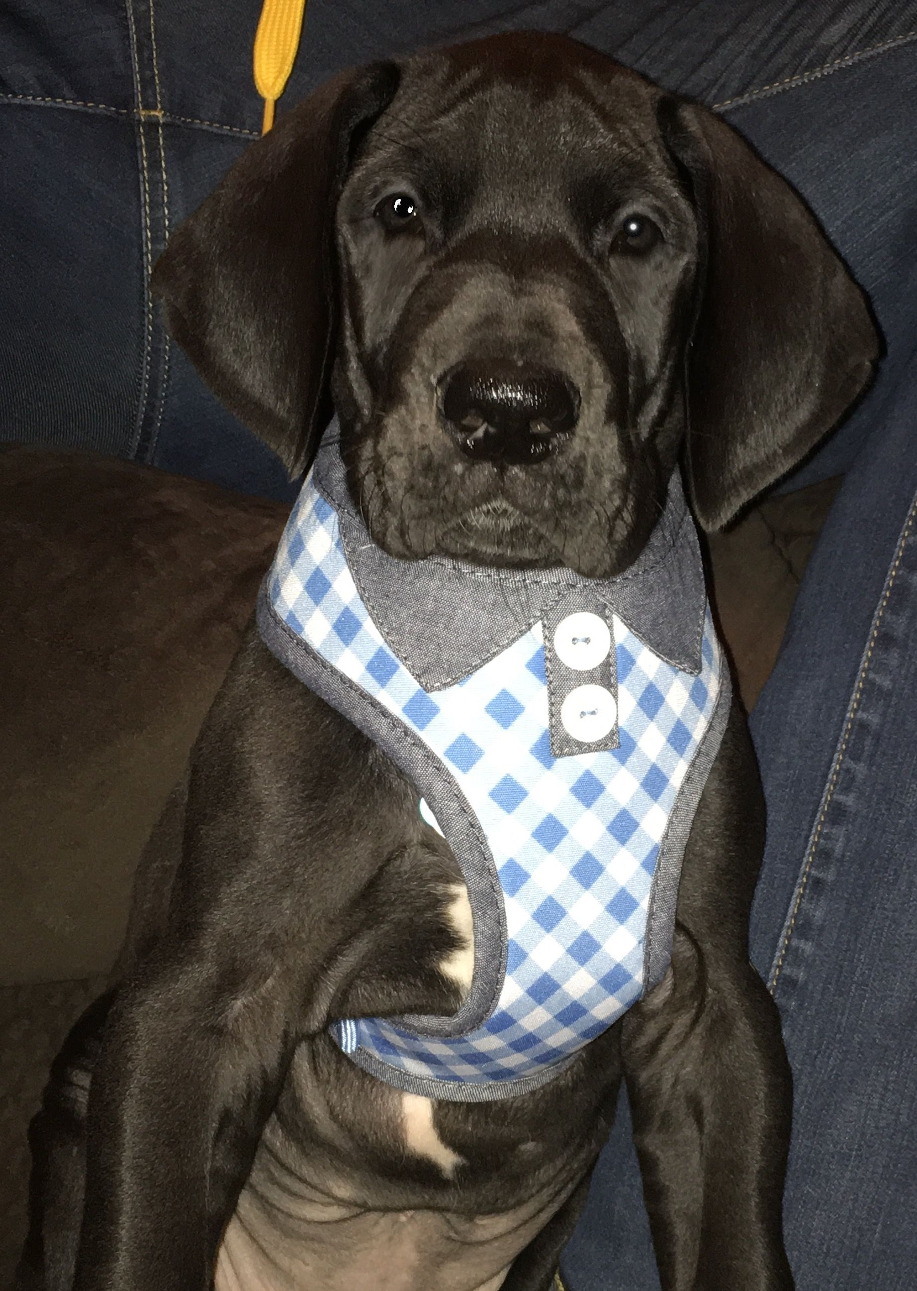 8 Week Old Male Great Dane Puppy Oliver Bek Animals Great