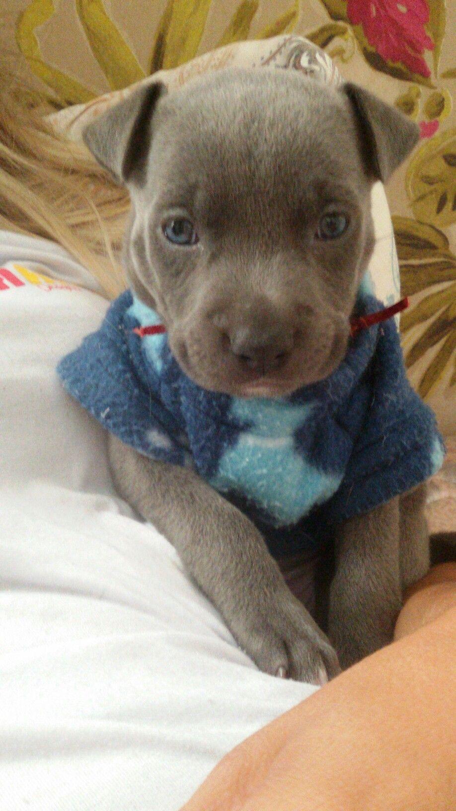 Pin By Gaby Pena On Puppy Love Dog Snapchats Cute Pitbulls