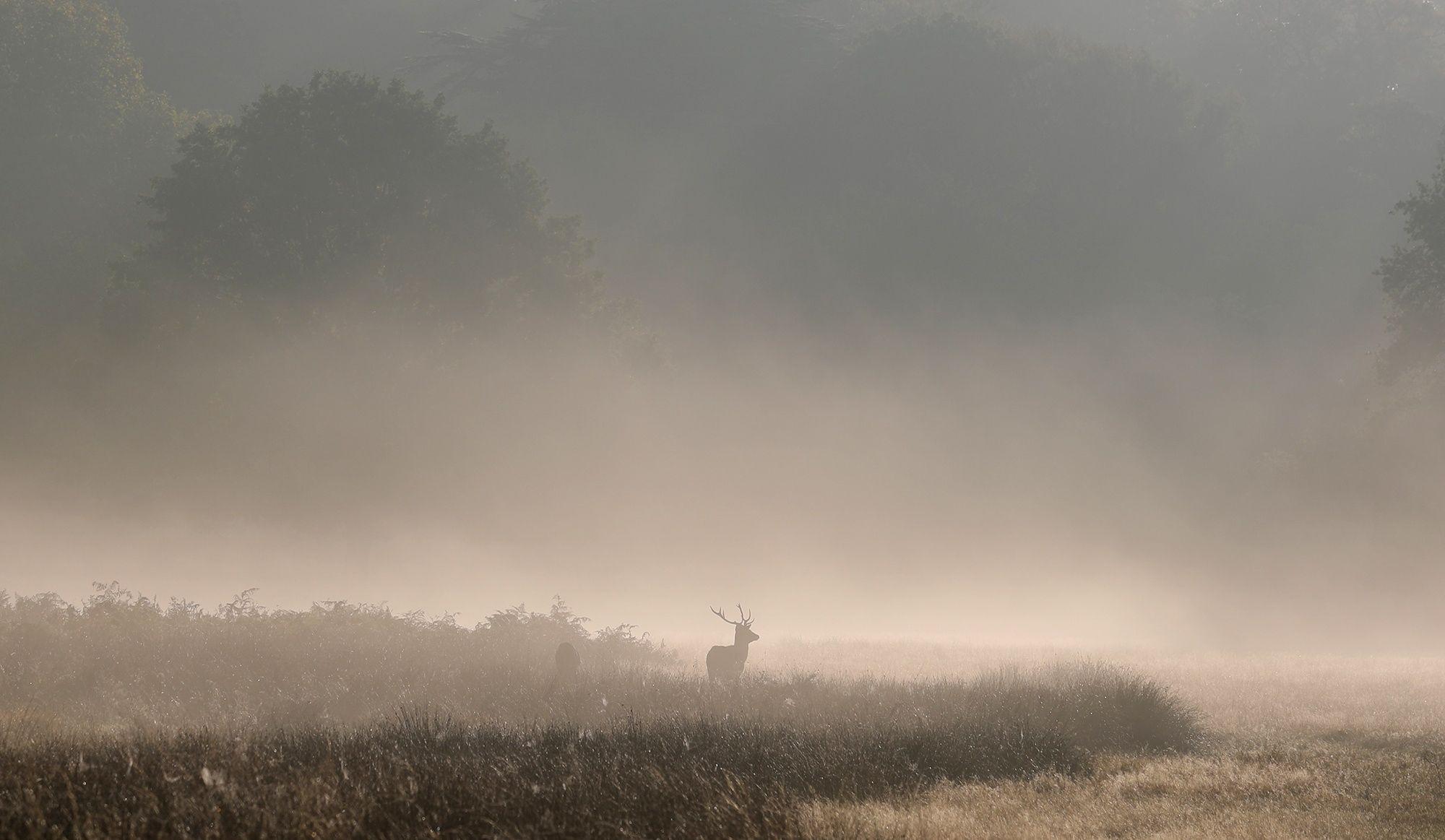 Red deer in Richmond Park. - Red deer in mist in Richmond Park.