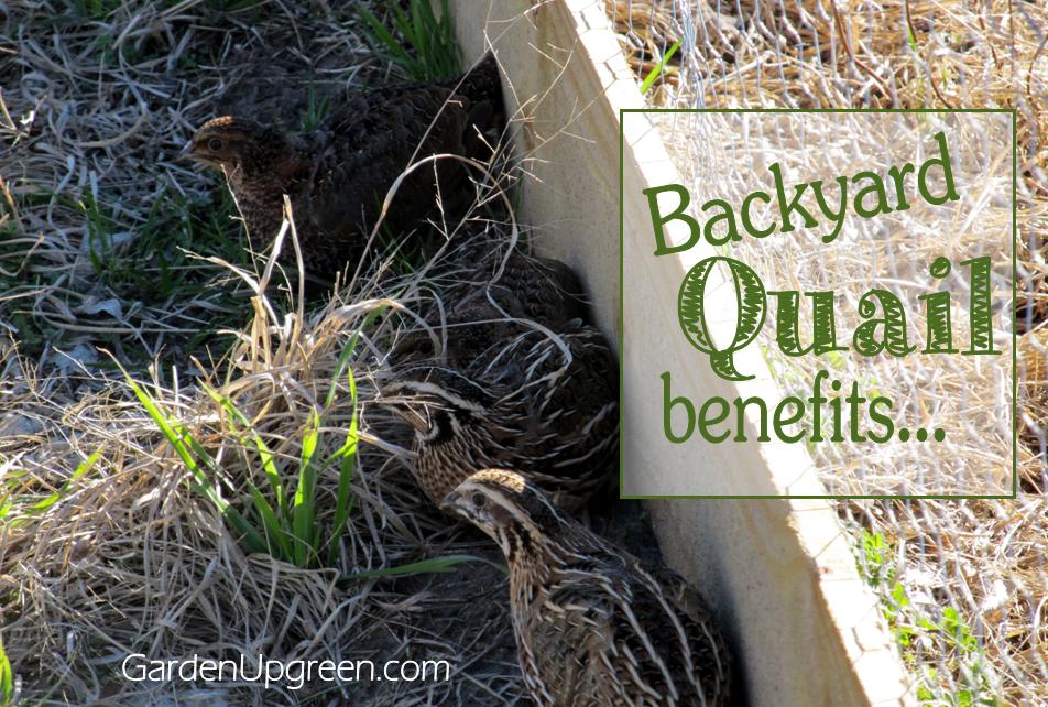 Backyard Quail Benefits | Chickens backyard, Raising quail ...