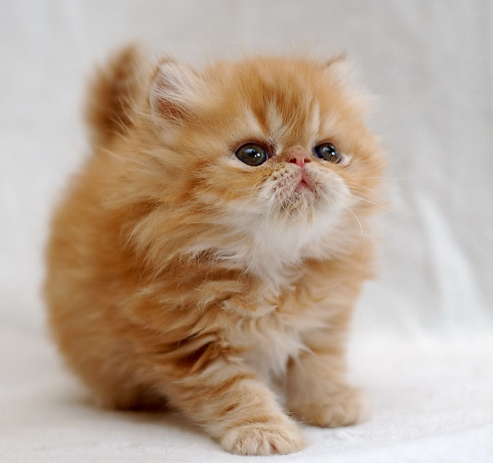 Omg I Don T Care If I M Allegeric I Want One Of These And I Want One Now Munchkin Kittens Cuddly Animals Fluffy Cat Kittens Cutest