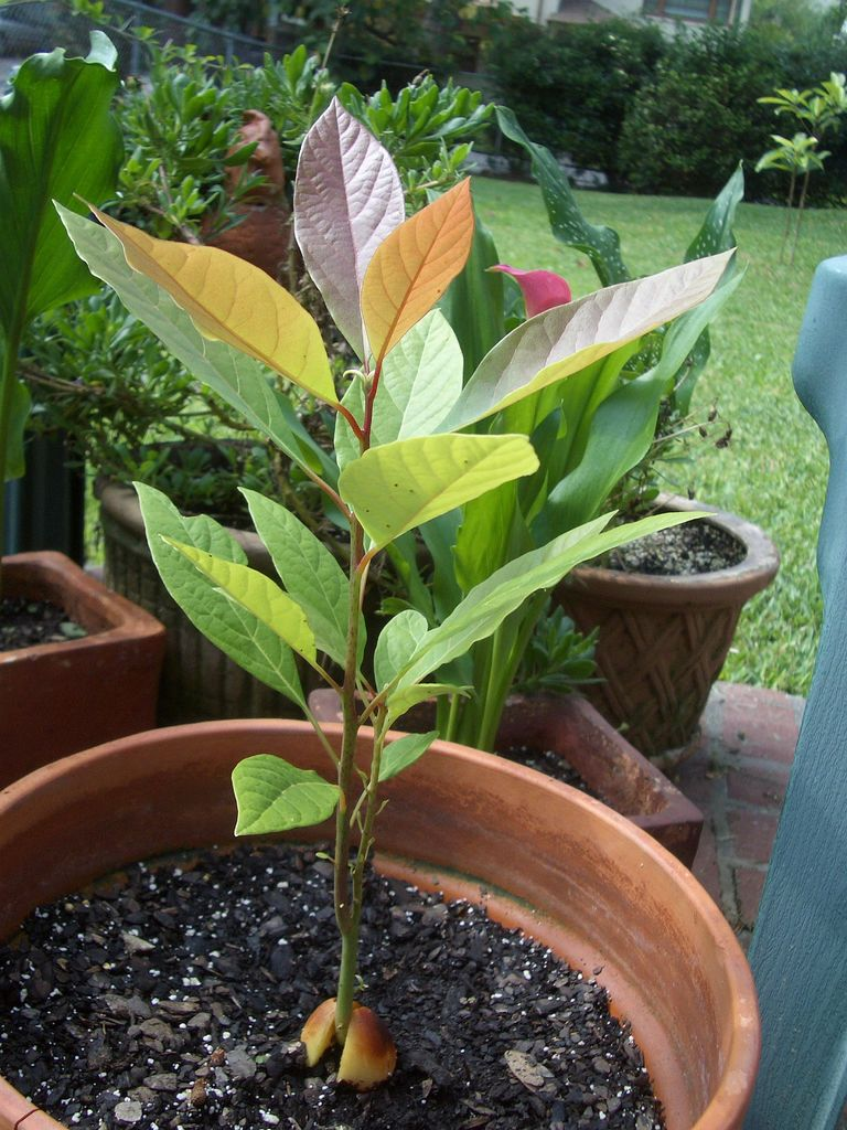 Growing avocados in containers and indoor avocado plant