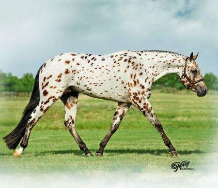 Appaloosa Horses for Sale | Spot My Blue Boy, Appaloosa