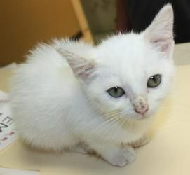 Rogue is an adoptable Domestic Short Hair Cat in Cottageville, WV. Rogue is a sweet little girl, totally white, and about six weeks old.  Isn't she cute?  She's a little squirt, but she thinks she's b...